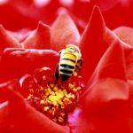 """""""Abeille rouge"""", fotografia digitale naturale, cm 20x30, 30x40, 40x50, 50x70, 2015"""
