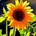 """""""Girasole Paint"""", fotografia digitale naturale + effetto Paint, cm 20x30, 30x40, 40x50, 50x70, 2015"""