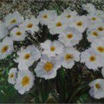 """""""Papaveri, Alpi Giulie"""", olio e pietrisco su tela, cm 40x30, 2013 500 €"""